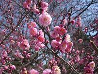 flores prunus